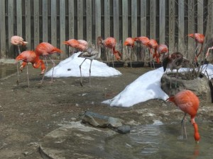 Flamingos and Snow at the Stone Zoo